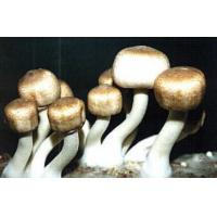 Buy cheap Agaricus Blazei Extract-Polysaccharides & Steroids product