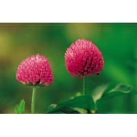 China High Quality 8% Isoflavones HPLC Red Clover Extract -Trifolium pretense L. on sale