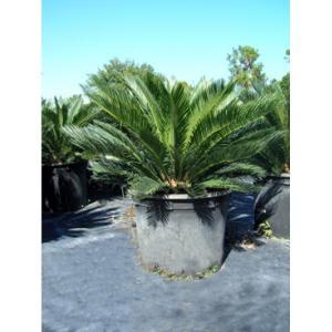 Buy cheap Cycas Revoluta Bulb The Sago Palm product