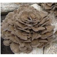 Quality Organic Grifola frondosa powder / Organic Maitake mushroom powder for sale