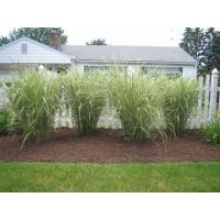 Buy cheap 2011 new beautiful landscaping grass SJHQDS40-4S product