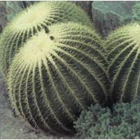Buy cheap large cactus indoor ornamental plants (Golden Barrel Cactus) product