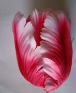 HOT Parrot Tulip Red and White on the Book of Twilight New Moon