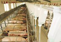 Automatic Feeding System for Pig