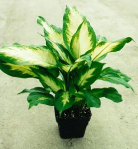 Buy cheap Dieffenbachia (Amy) product