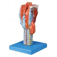 Buy cheap Life size sectioned larynx  Human anatomy Model for colleague training product