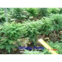 Buy cheap Araucaria product
