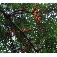 Buy cheap Standardized Extract Sea Buckthorn ExtractSea Backthern Extract product