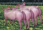Buy cheap Meat Series Western Pig product