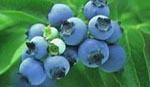 Quality Blueberry Juice Powder for sale