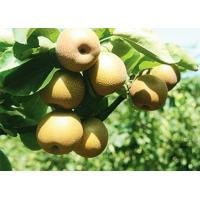 Buy cheap Pear Series Name of commodity: Cuiguan Pear product