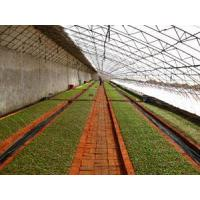 Buy cheap Introduction of Blueberry seedlings product