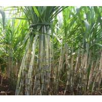 Buy cheap Sugarcane Cultivation product