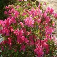 Buy cheap rhododendron dauricum product