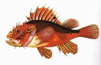 Buy cheap scorpion fish product