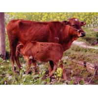 Buy cheap Western Cattle product