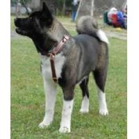 Buy cheap Akita Inu Multifunctional Leather Dog Harness product