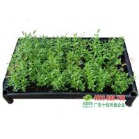 Buy cheap Sowing Seedlings bell plum from Wholesalers