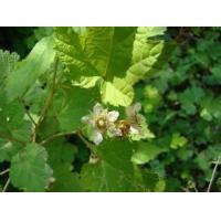 Buy cheap Hawthorn Leaf Extract product