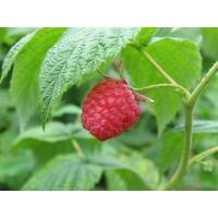 Buy cheap raspberry extract product