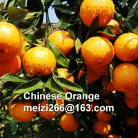 Seedless Mandarin Orange[7] Seedless Mandarin Orange07