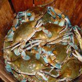 MD Blue Crabs