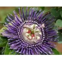 Buy cheap Passion Flower Extract Passion fruit flower extract product
