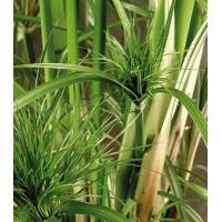 Graceful Grasses King Tut Cyperus papyrus Egyptian Papyrus