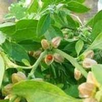 Buy cheap Ashwagandha Leaves (Withania Somnifera Leaves) Ashwagandha Leaves (Withania Somnifera Leaves) product