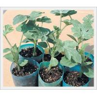 Agriculture Root Stock Seeds