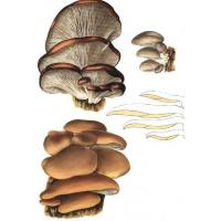 Buy cheap Oyster mushroom Extract product