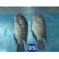 Buy cheap Fisheries Frozen Tilapia WR from wholesalers