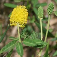 Buy cheap Browse by Common Name Yellow Puff from wholesalers